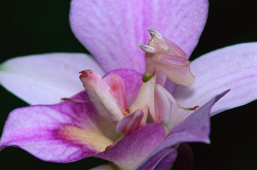 3-orchid-mantis-hymenopus-coronatus-thomas-marent