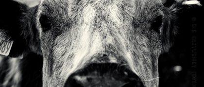 cow-cattle-animal-portrait-bovine-close-crop-detail-contrast-silver-efex-nik-dof-photography-photo-image-scotland-bw-black-white-bw-mono-monochrome-nikon-d700-photoaday-rob-cartwright